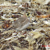 Horned Lark - February 23, 2013 - Hartlen Point, Eastern Passage, NS