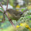 Common Yellowthroat - September 2, 2013 - River Bourgeois, Cape Breton, NS