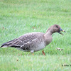 Bean Goose - November 9, 2013 - Yarmouth, NS