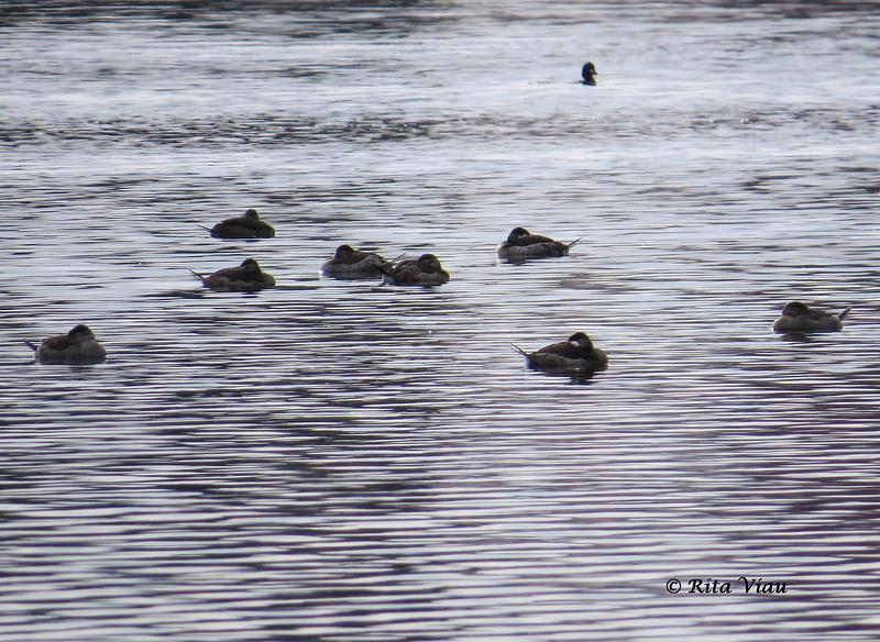Ruddy Ducks - November 10, 2013 - Bissett Lake, Cole Harbour, NS