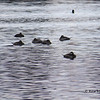 Ruddy Ducks - November 10, 2013 - Bissett Lake, Cole Harbour, NS