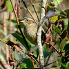 Swamp Sparrow - October 6, 2013 - Russell Lake, Dartmouth, NS