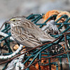 "Savannah Sparrow ""Ispwich""- March 31, 2012 - Hartlen Point, Eastern Passage, NS"