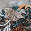 "Savannah Sparrow ""Ispwich""- March 31, 2012 - Hartlen Point, Eastern Passage, NS"