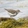 Spotted Sandpiper - May 18, 2013 - River Bourgeois, Cape Breton, NS