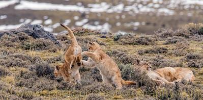 Two Puma Cubs Play Near Mom