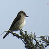 Olive-sided Flycatcher - June 18, 2013 - Pockwock Lake, NS