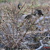 White-winged Crossbills - November 10, 2012 - River Bourgeois, Cape Breton, NS