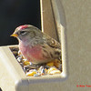 Common Redpoll - February 1, 2013 - Lr. Sackville, NS