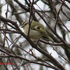 Golden-crowned Kinglet - November 11, 2013 - Lr Sackville, NS