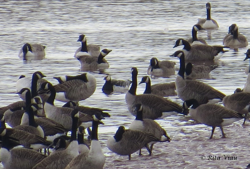 Barnacle Goose with Canada Geese - October 20, 2013 - Tidal Bore Rd, Onslow, NS