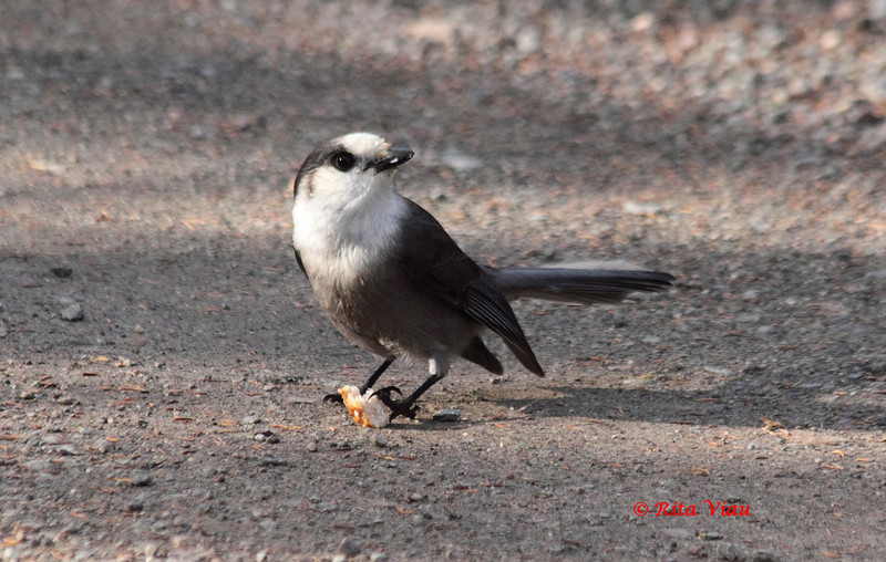Gray Jay - November 11, 2012 - River Bourgeois, Cape Breton Island, NS