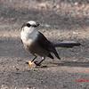 Gray Jay - November 11, 2012 - River Bourgeois, Cape Breton Island, NS