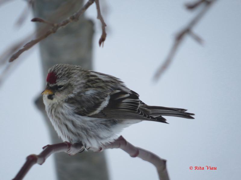 Common Redpoll - February 18, 2013 - Lr Sackville, NS