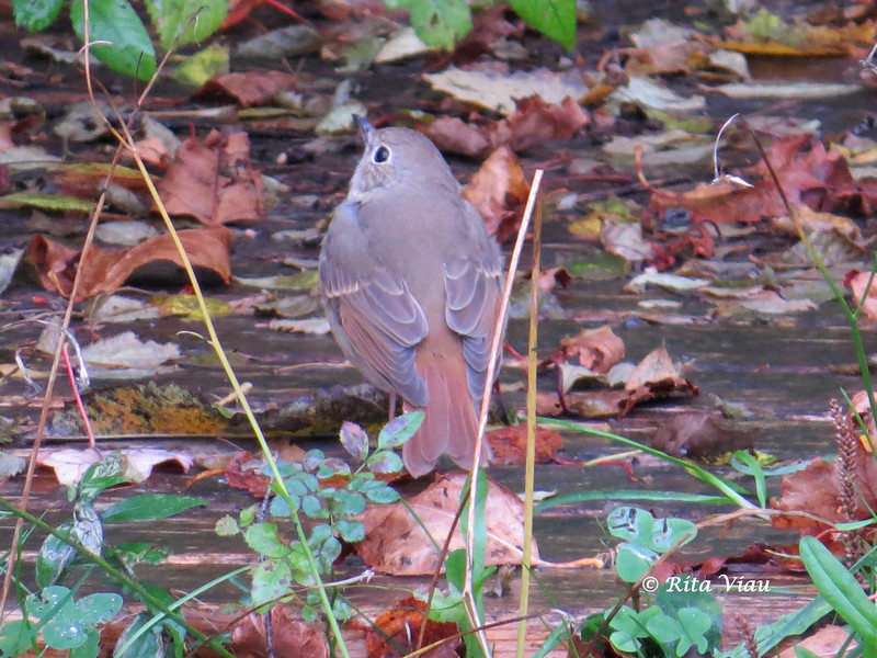 Hermit Thrush - October 20, 3013 - Lr Sackville, NS