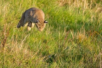 Airborne Bobcat