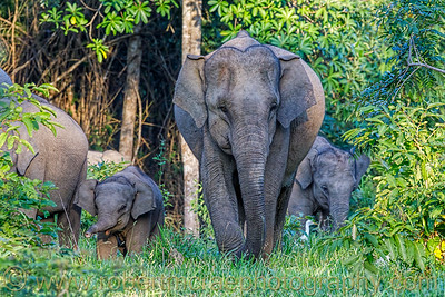 Asian Elephant with Calf
