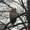 Great-horned Owl - November 26, 2013 - Halifax Waterfront, NS