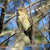 Yellow-rumped Warbler - August 31, 2013 - River Bourgeois, Cape Breton NS