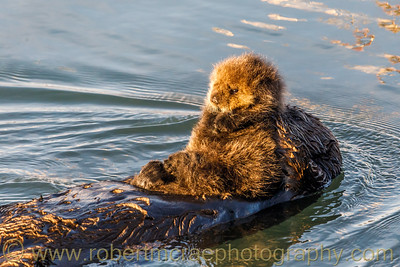 Sea Otter Pup Born this Morning