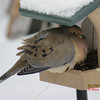 Mourning Dove - January 19, 2013 - Lr Sackville, NS