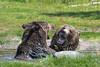 Grizzly Bears battling III