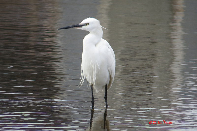 Little Egret - April 21, 2013 - Eastern Passage, NS