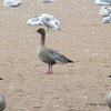 Pink-footed Goose with Canada Geese - October 20, 2013 - Tidal Bore Rd, Onslow, NS