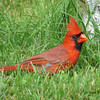 Northern Cardinal - August 26, 2013 - Lr Sackville, NS