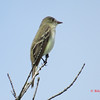 Flycatcher - June 2, 2013 - Russell Lake, Dartmouth, NS