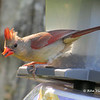 Northern Cardinal - August 24, 2013 - Lr Sackville, NS