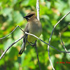 Cedar Waxwing - August 9, 2012 - Point Pleasant Park, Halifax, NS