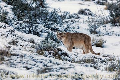 Puma in the Snow