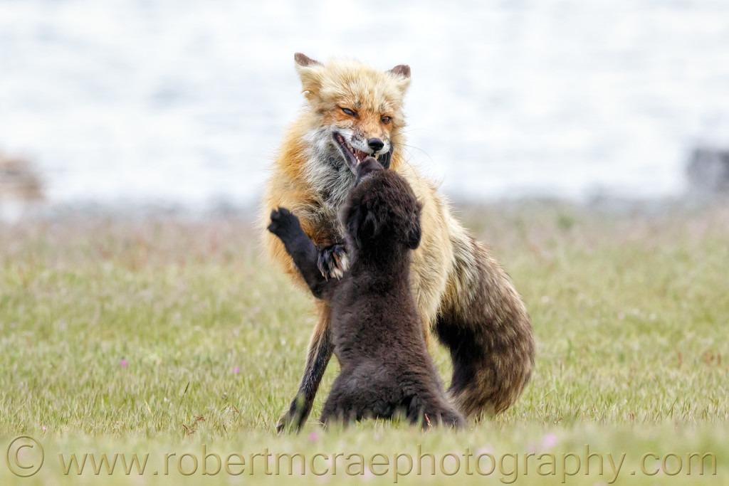 Red Fox male (dog) playing with his kit. (pup).