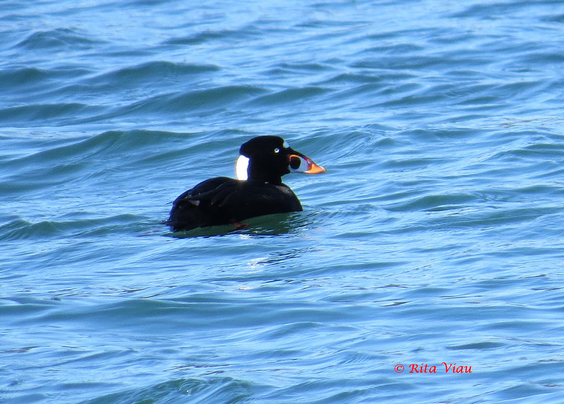 Surf Scoter - March 17, 2013 - Eastern Passage, NS