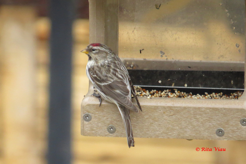 Common Redpoll - April 13, 2013 - Lower Sackville, NS