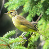 Palm Warbler - September 5, 2013 - River Bourgeois, Cape Breton, NS