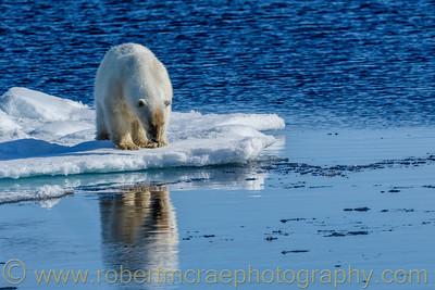 Polar Bear on pack ice reflection.