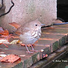 Hermit Thrush - October 20, 2013 - Lr Sackville, NS