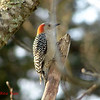 Red-bellied Woodpecker (female) - December 9, 2012 - Lr Sackville, NS