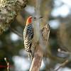 Red-bellied Woodpecker (female) - December 9, 2012 - Lr Sackville, NS