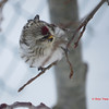 Common Redpoll - February 18, 2013 - Lr Sackville, NS