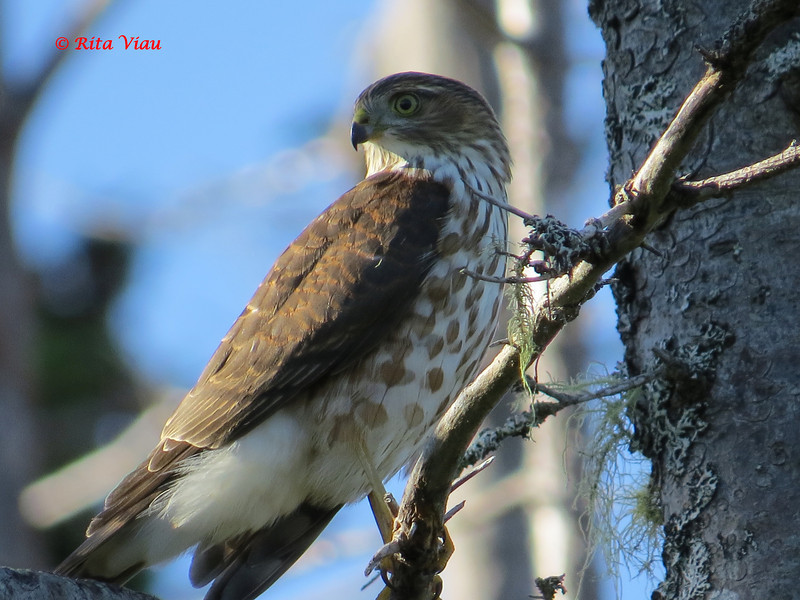 Sharp-shinned Hawk - September 5, 2013 - River Bourgeois, Cape Breton, NS