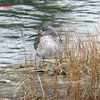 Yellowlegs - November 17, 2013 - Salt Marsh Trail, NS