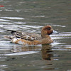 Eurasian Wigeon - November 17, 2013 - Sullivan's Pond, Dartmouth, NS