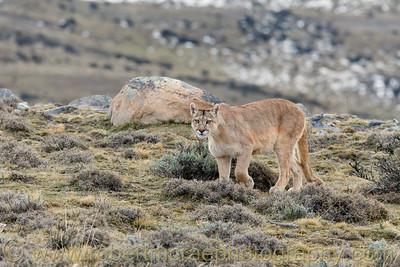Puma Female Approaches
