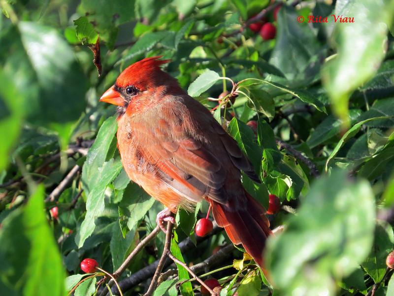 Northern Cardinal - October 5, 2013 - Lr Sackville, NS
