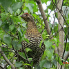Spruce Grouse- June 27, 2013 - Pockwock Lake, NS
