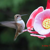 Rufous Hummingbird - Lr Sackville, NS - Sept 22, 2012