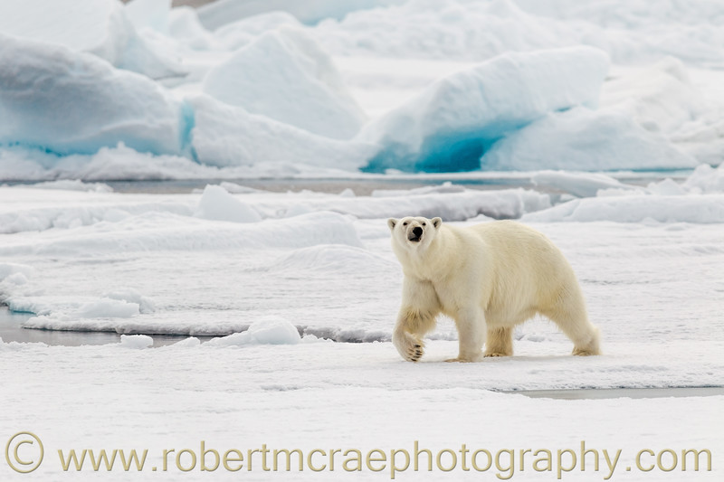 Polar Bear on pack ice north of Svalbard.